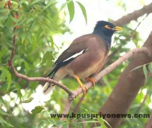 Birds name - mynah bird