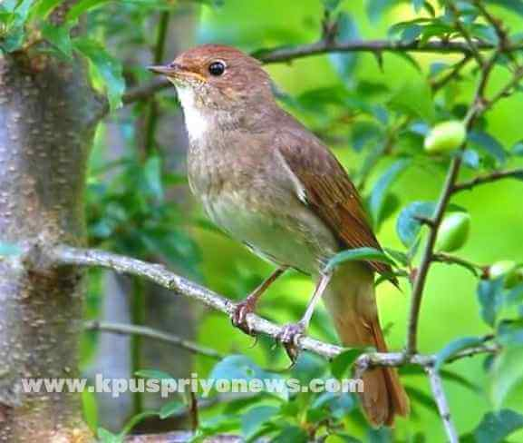 Birds name - nightingale bird